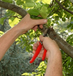 Ornamental Tree Pruning